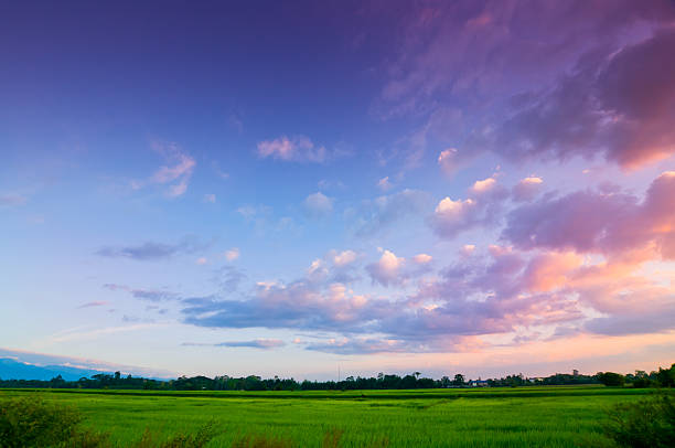 Green rice fild with evening sky Green rice fild with evening sky twilight stock pictures, royalty-free photos & images