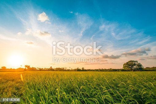 istock Green rice fild with evening sky 516180836