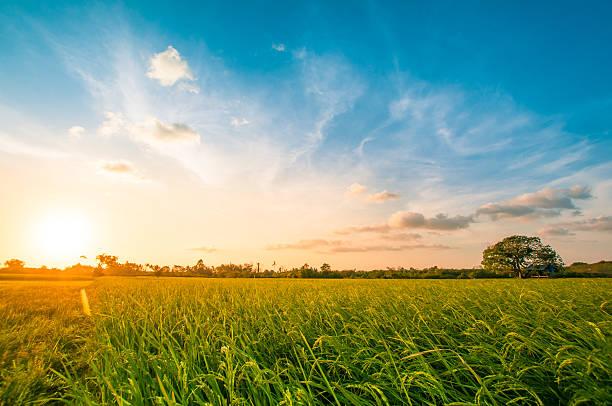 Green rice fild with evening sky picture id516180836?b=1&k=6&m=516180836&s=612x612&w=0&h=jwqk9hupip6ube1blssp7g7ecw6 9dfvbeyfwzy9xam=