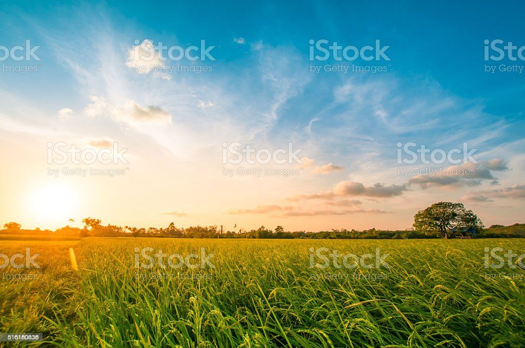 Green rice fild with evening sky bildbanksfoto