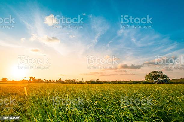Photo of Green rice fild with evening sky