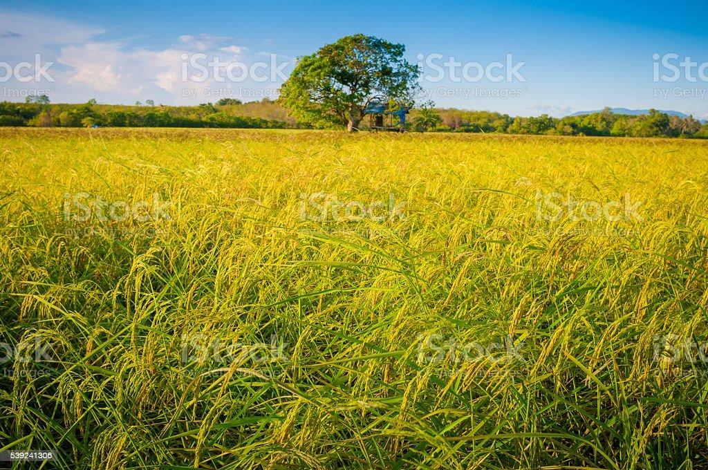 Verde arroz fild con el cielo al anochecer foto de stock libre de derechos