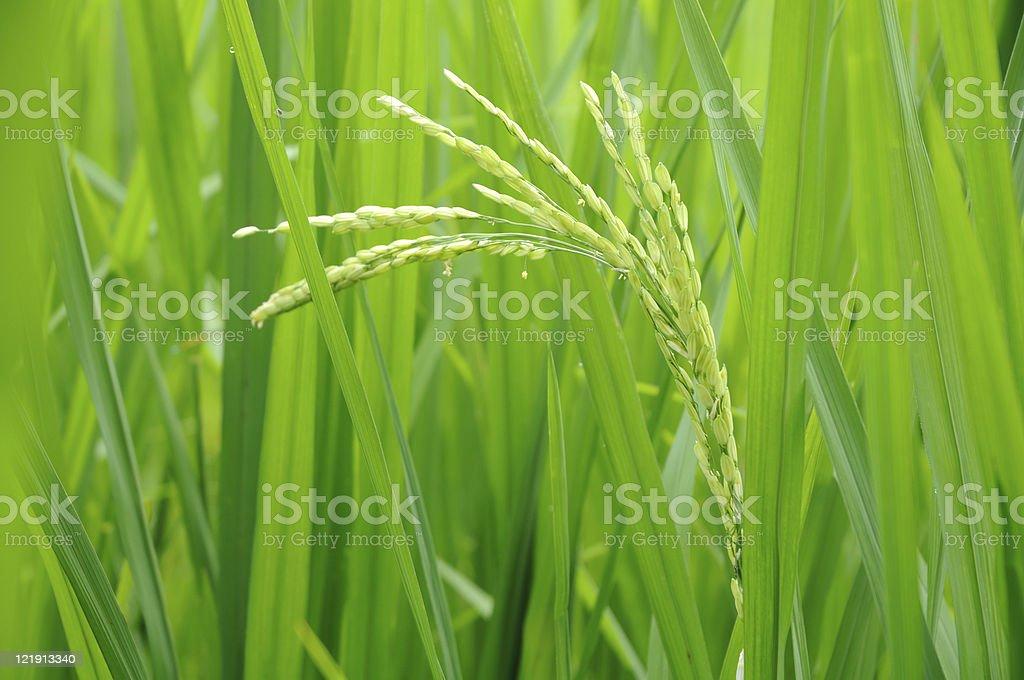 Green rice grain royalty-free stock photo