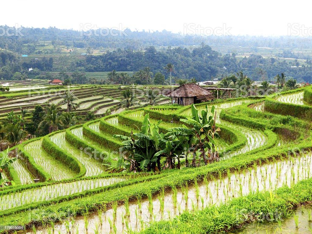 Green rice terraces. royalty-free stock photo