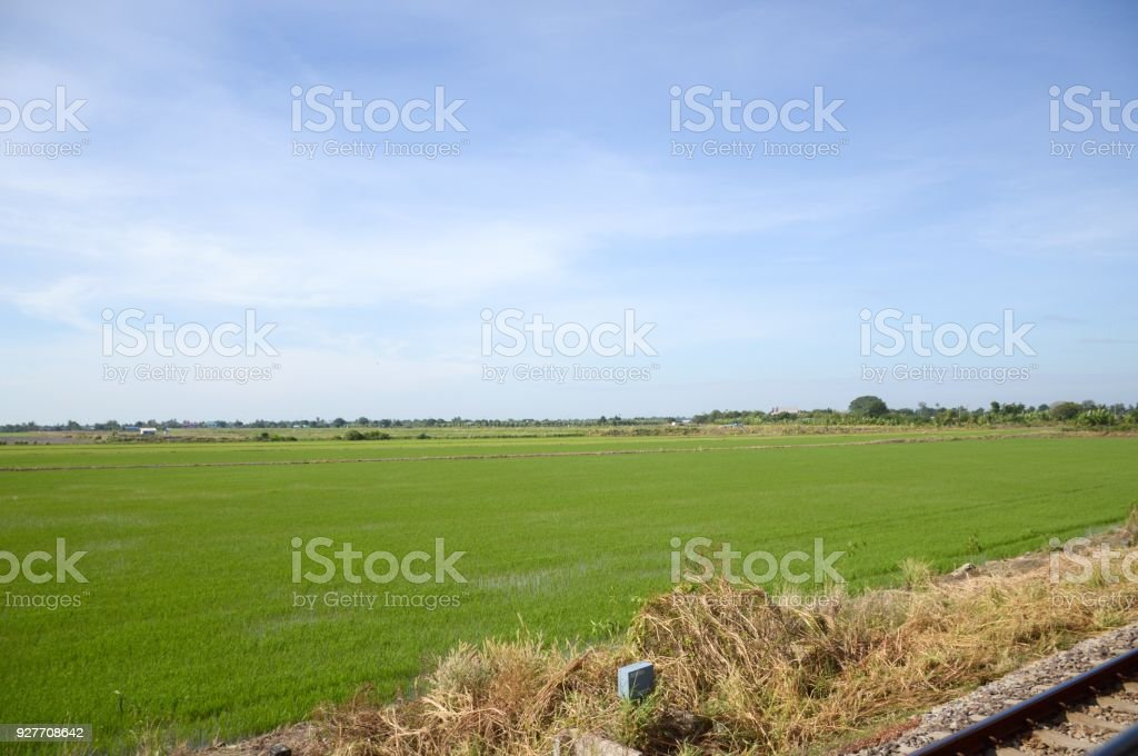 green rice tree in country , Chachoengsao , Thailand stock photo