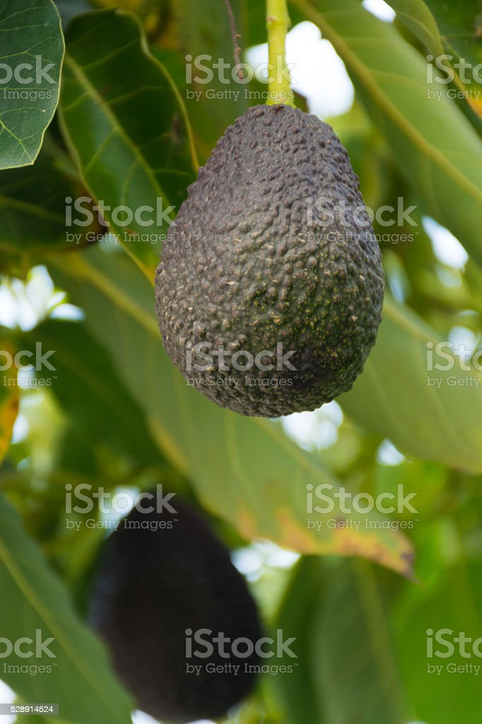 Green ripe avocado hanging on the tree stock photo