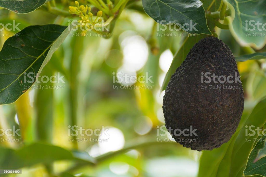Green ripe avocado hanging on the tree stock photo