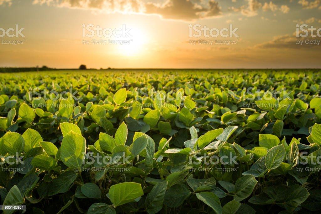 Green ripening soybean field, agricultural landscape zbiór zdjęć royalty-free