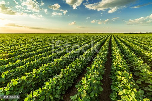 istock Green ripening soybean field, agricultural landscape 965146100