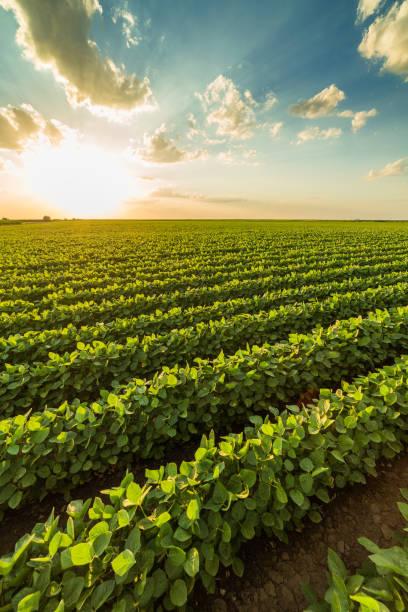 yeşil olgunlaşma soya alan tarım peyzaj - soya fasulyesi stok fotoğraflar ve resimler