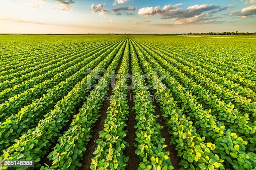 istock Green ripening soybean field, agricultural landscape 965148388