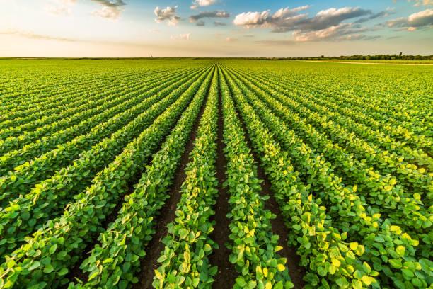 groene rijpen soja veld, agrarische landschap - veld stockfoto's en -beelden