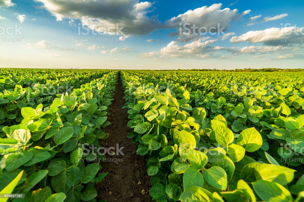 Green ripening soybean field, agricultural landscape royalty-free stock photo