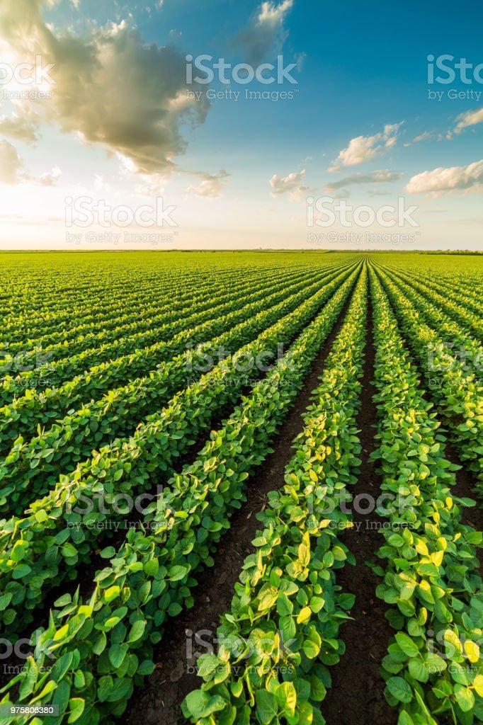 Grün Reifung Sojabohne Feld, Landwirtschaft-Landschaft - Lizenzfrei Agrarbetrieb Stock-Foto