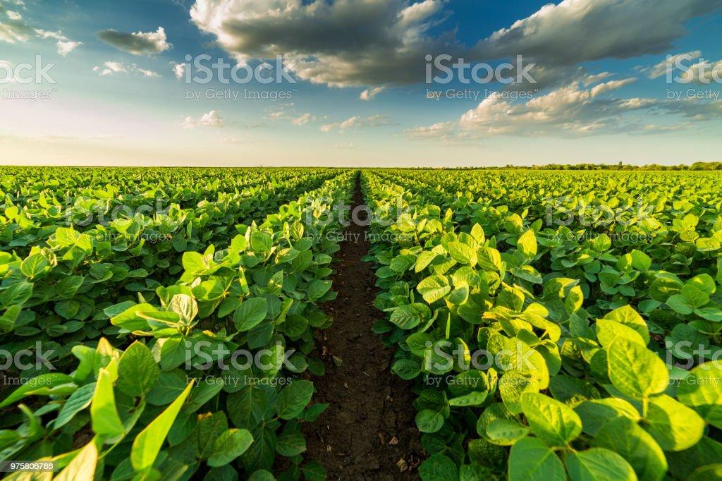 Yeşil olgunlaşma soya alan tarım peyzaj - Royalty-free Baklagil Stok görsel