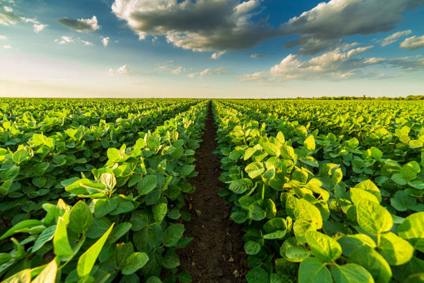 Green ripening soybean field, agricultural landscape stock photo