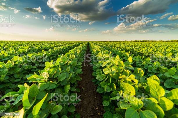 Photo of Green ripening soybean field, agricultural landscape