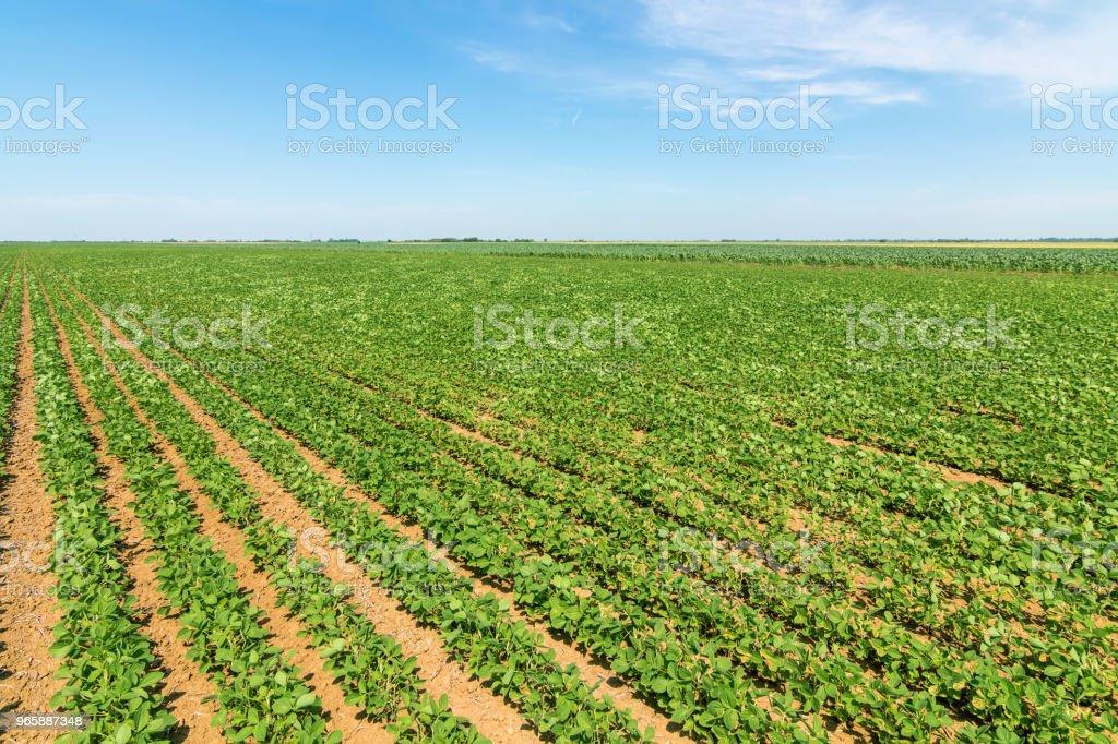 Groene rijpen soja veld. Rijen van groene sojabonen. Soy de plantage. - Royalty-free Biologisch Stockfoto