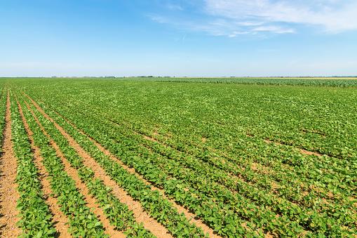 Groene Rijpen Soja Veld Rijen Van Groene Sojabonen Soy De Plantage Stockfoto en meer beelden van Biologisch