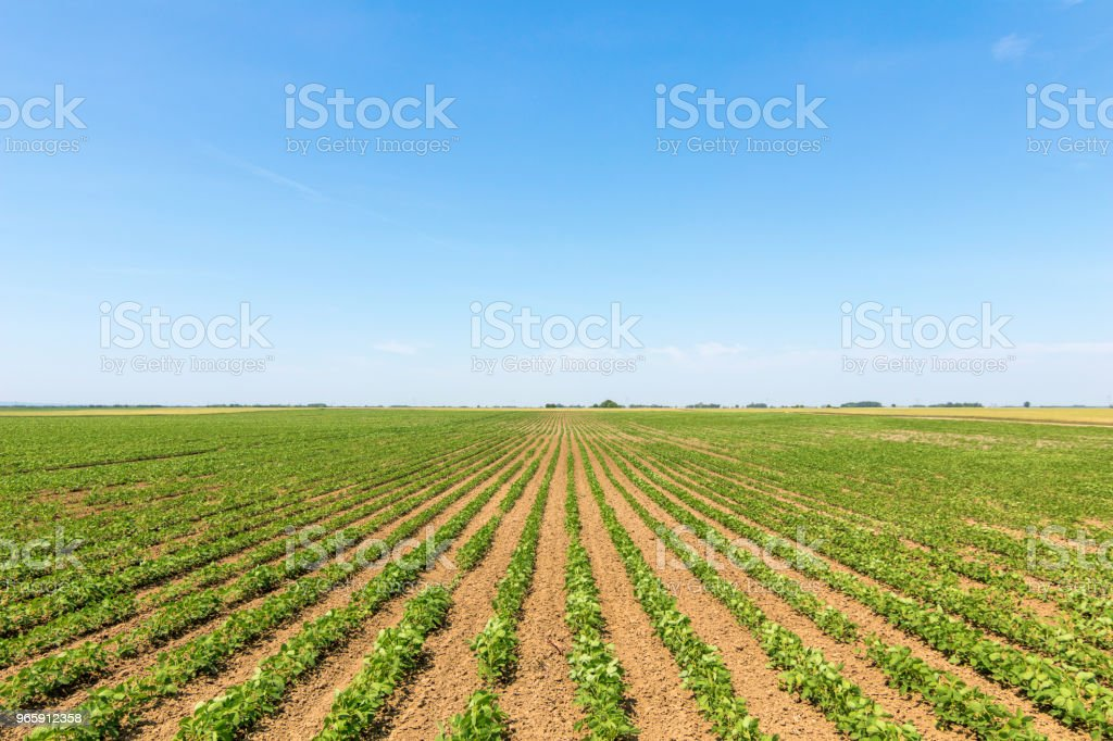 Green ripening soybean field. Rows of green soybeans. Soy plantation. - Royalty-free Agricultura Foto de stock