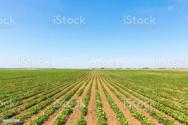 Green Ripening Soybean Field Rows Of Green Soybeans Soy Plantation - Fotografias de stock e mais imagens de Agricultura