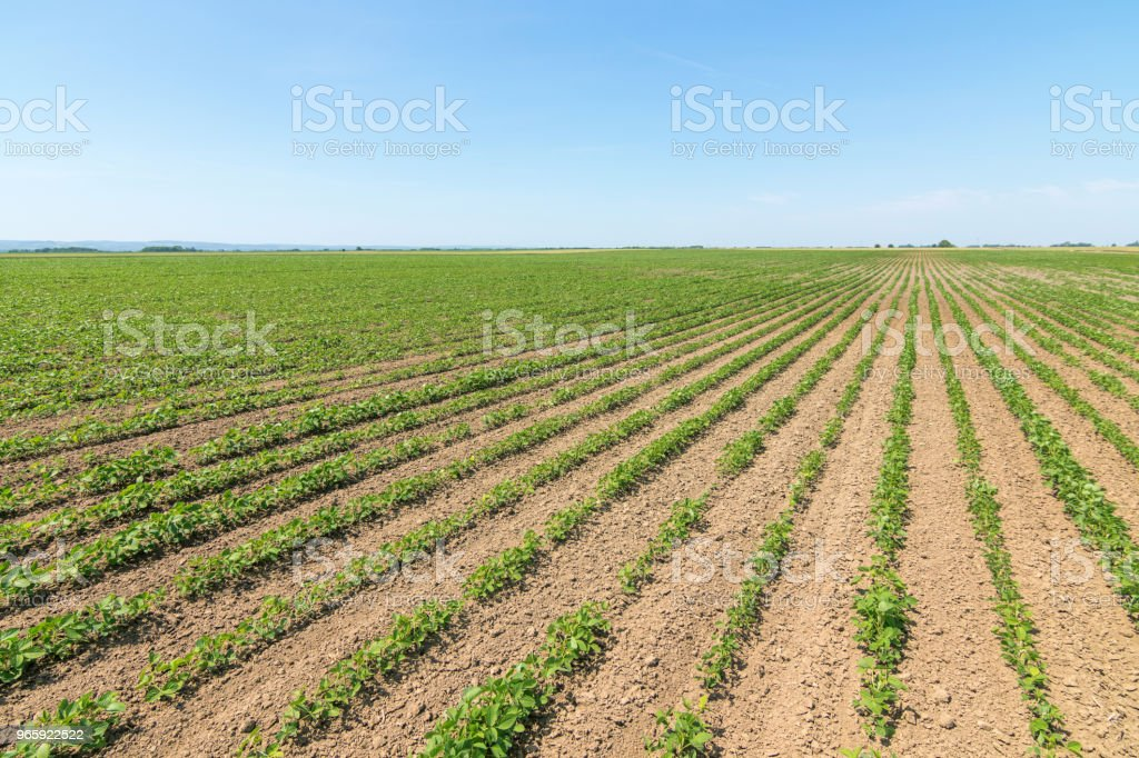 Green ripening soybean field. Rows of green soybeans. Soy plantation. - Royalty-free Agricultural Field Stock Photo