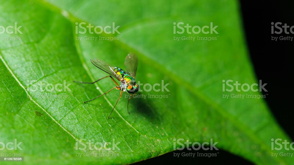 Green robberfly on the leaf stock photo