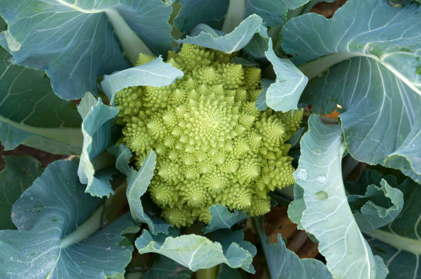 Green Romanesco cauliflower Special shape cauliflower romanesque stock pictures, royalty-free photos & images