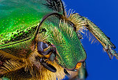 Portrait of Green rose chafer on blue