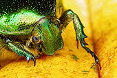 Portrait of Green rose chafer on yellow