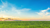 Green rows of a plantation of young sunflower on sunset sky background