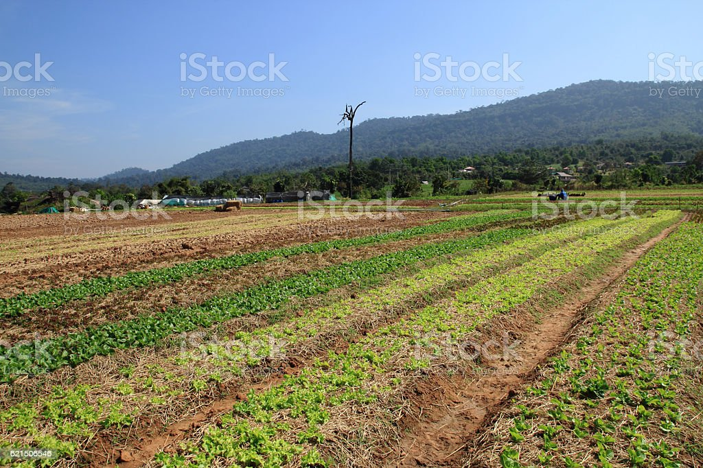 Righe Verde campo foto stock royalty-free