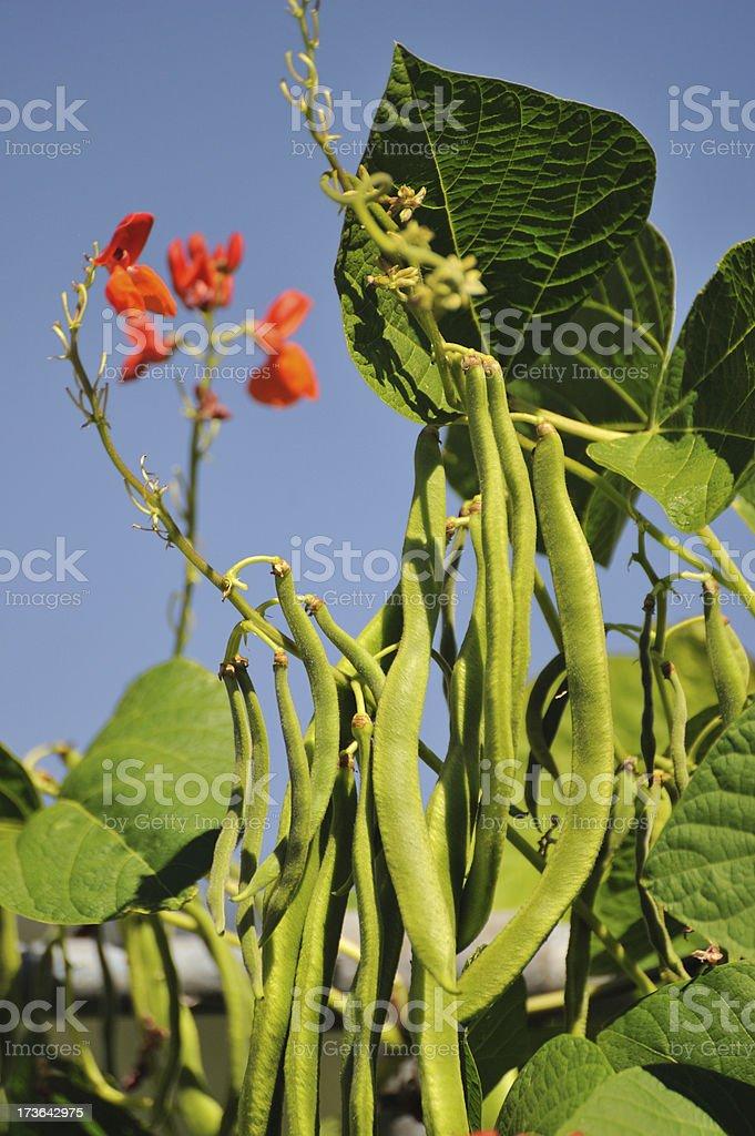 Green runner beans stock photo