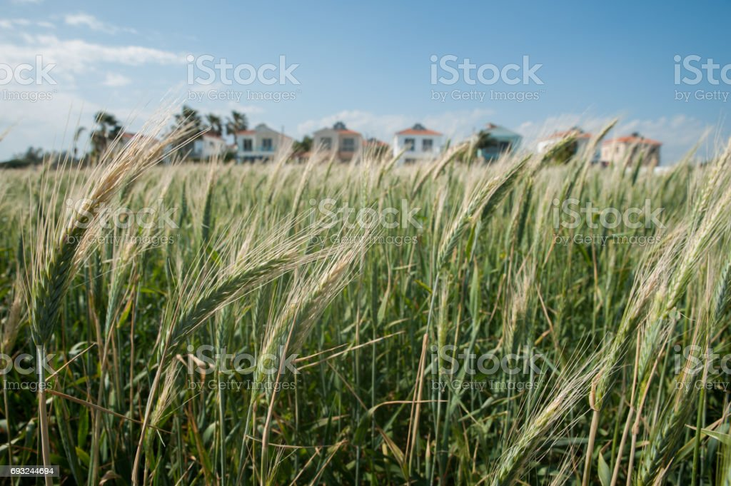 Green rye field, against the blue sky stock photo