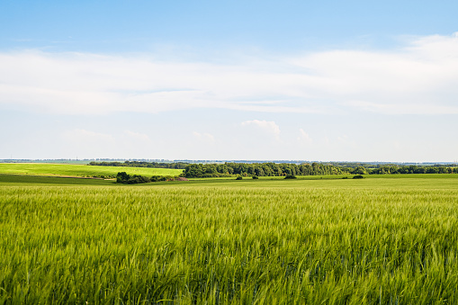 Green rye fields at a bright sunny summer day. Plain under a cloudy sky. Typical agricultural landscape of Belgorod reggion, Russia.