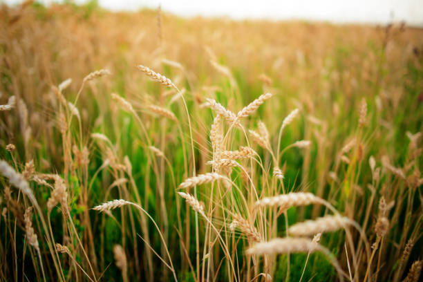 Green rye in field on a sunny day stock photo