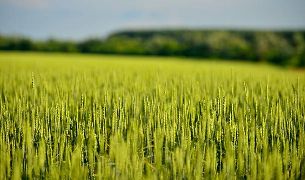 Cтоковое фото Green rye or wheat field in the sun