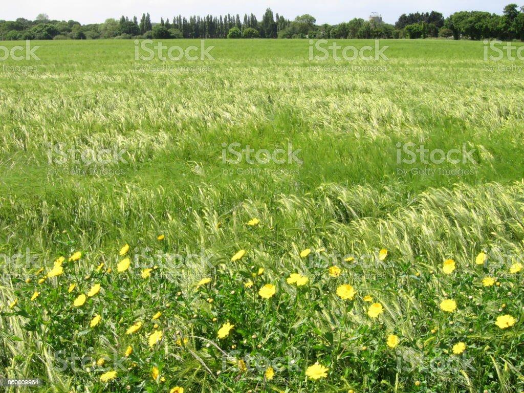 Green rye stock photo