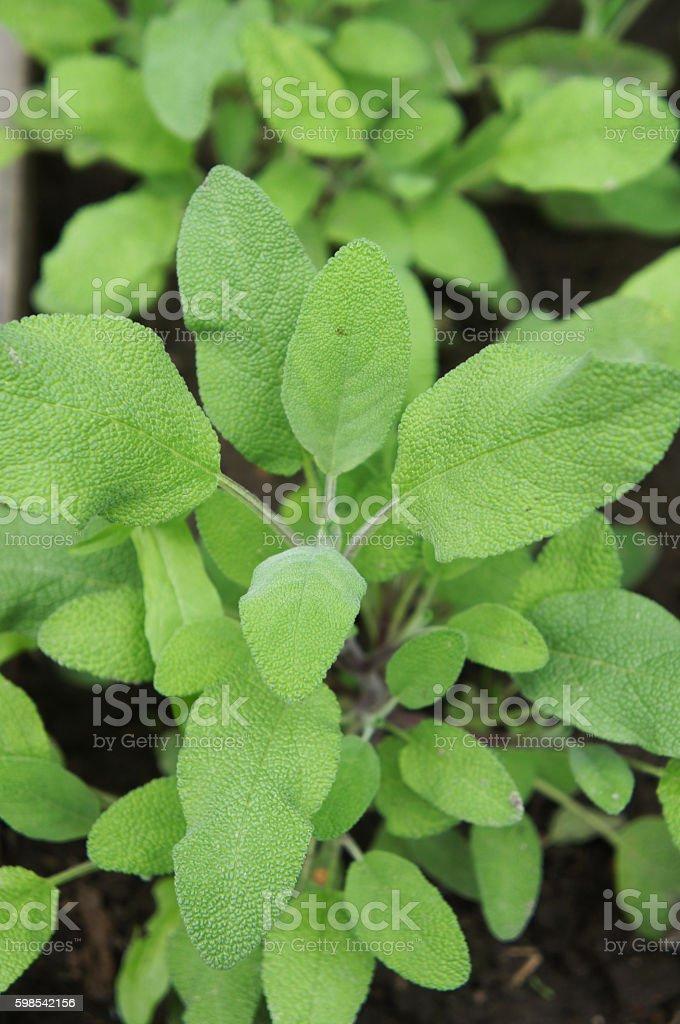 Green sage plant photo libre de droits