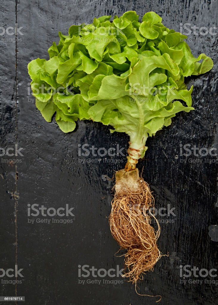 green salad leaves royalty-free stock photo