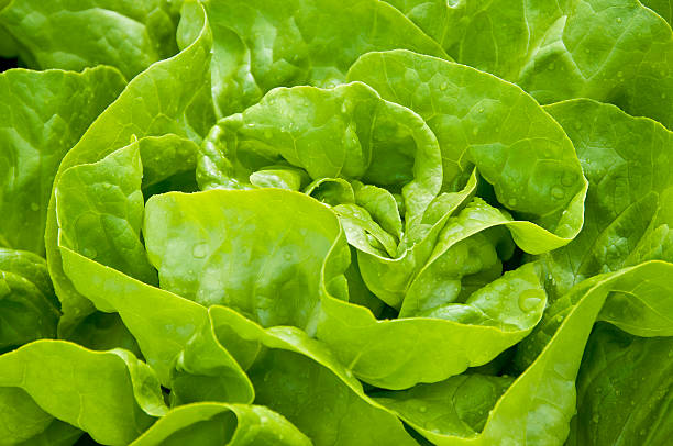 Green Salad Closeup of fresh organic lettuce on field butterhead lettuce stock pictures, royalty-free photos & images