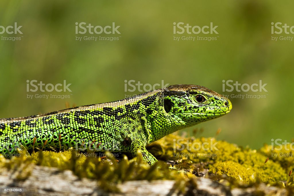 Green sand lizard close up with nice background stock photo