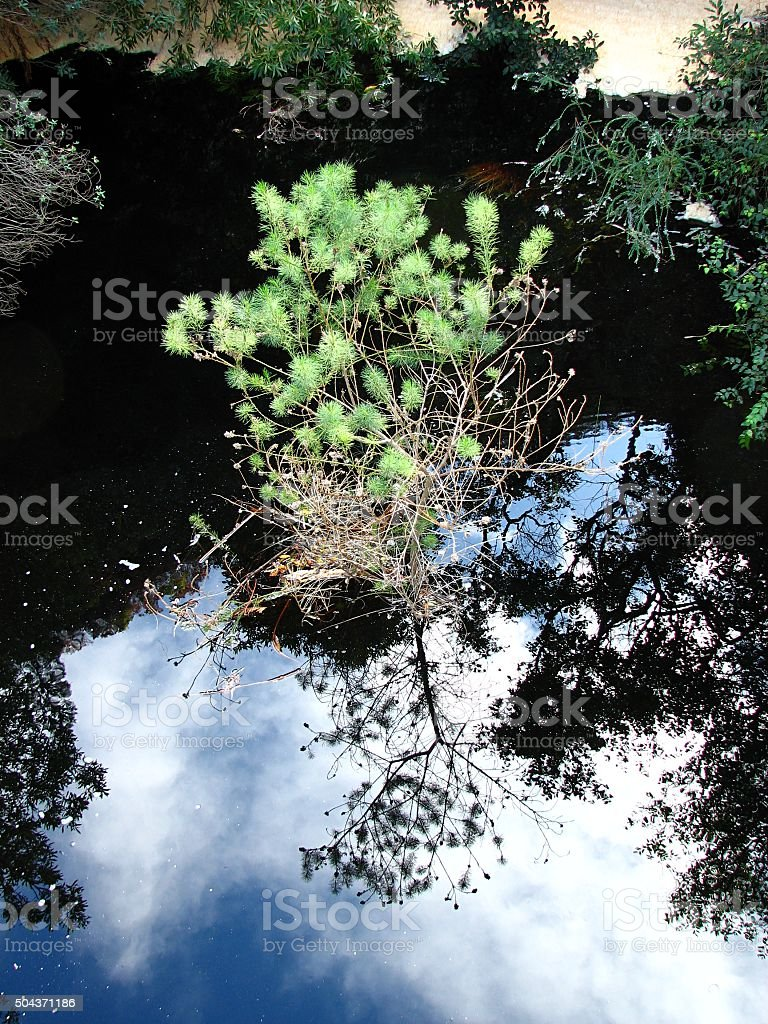Green sapling growing in a river reflecting sky stock photo