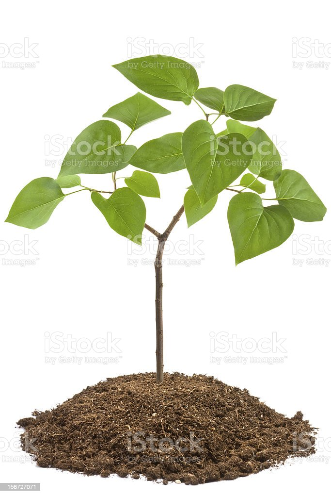 Green sapling of young tree royalty-free stock photo