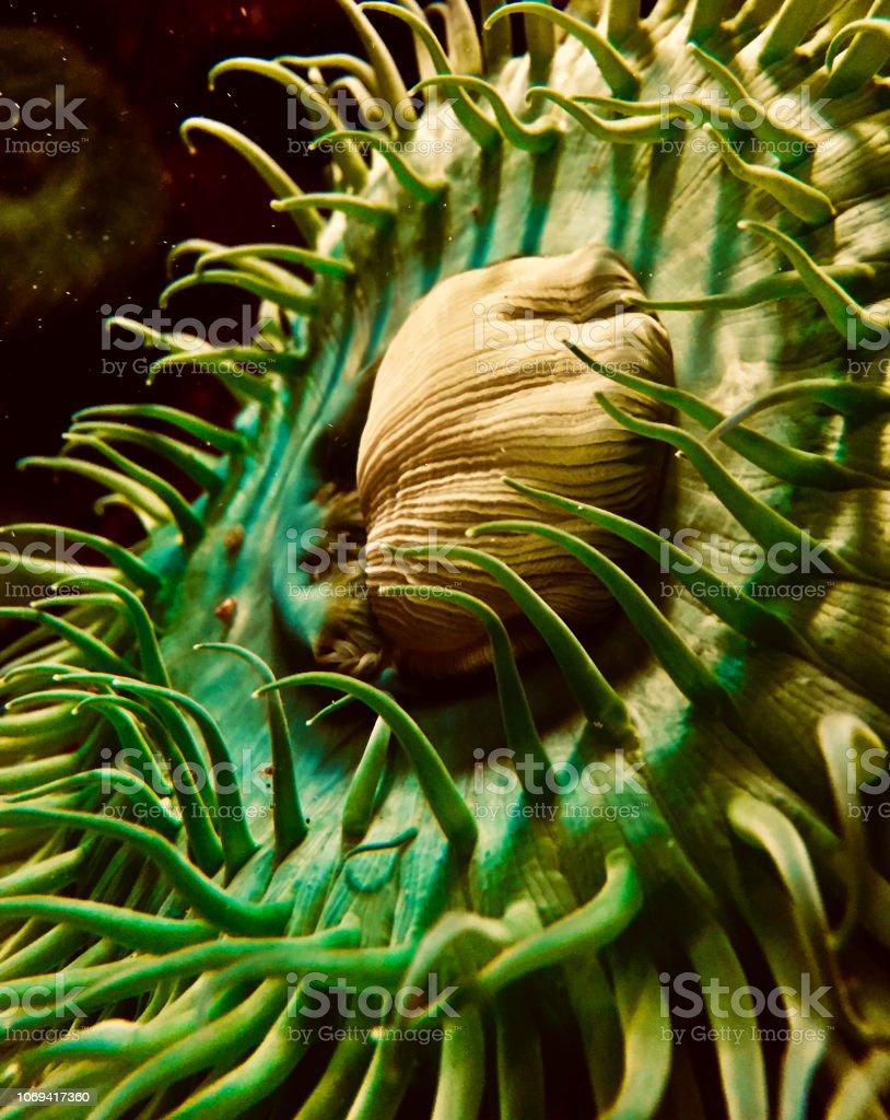 Green Sea Anemone – Foto