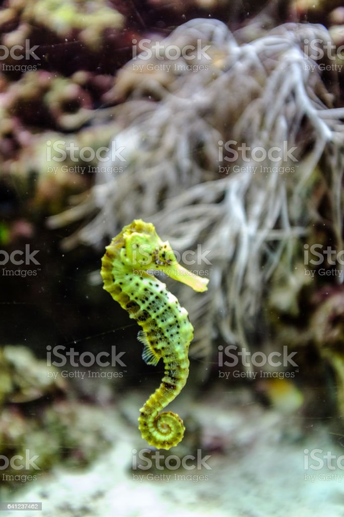 Green sea horse stock photo