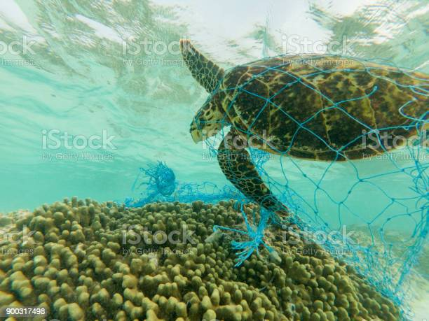 Green sea turtle and discarded fishing net picture id900317498?b=1&k=6&m=900317498&s=612x612&h=enqlbtq8k u 7m2l6ga2c8qdxbflh8lzxf wrfzj04g=