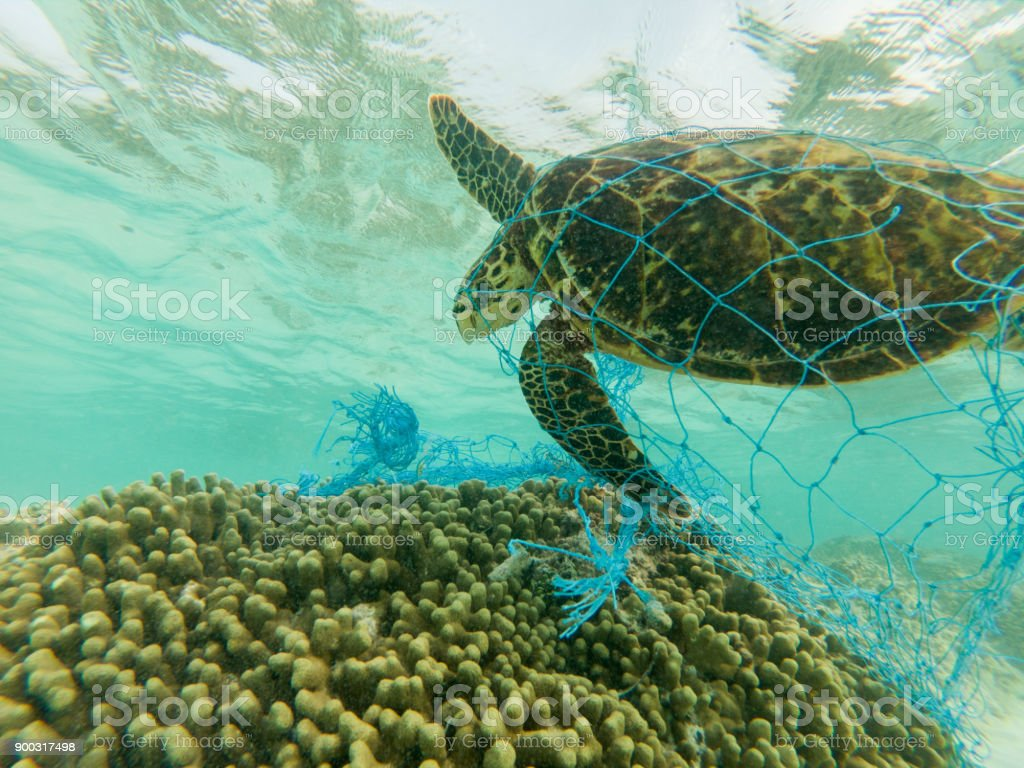 Green sea turtle and discarded fishing net stock photo