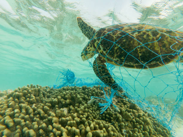 green sea turtle and discarded fishing net - plastic stock pictures, royalty-free photos & images