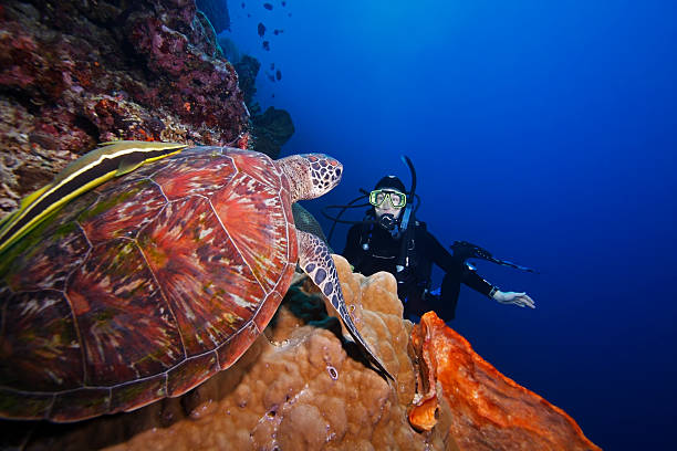 Green Sea Turtle (Chelonia mydas) and diver regarding each other Green Sea Turtle (Chelonia mydas) and scuba diver regarding each other, on a coral sea wall off Bunaken Island, North Sulawesi, Indonesia sulawesi stock pictures, royalty-free photos & images